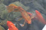 The koi fish at the Japanese Friendship Garden
