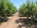 The peach orchard at Schnepf Farms