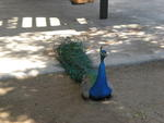 We even saw a peacock on our romantic date to Sahauro Ranch Park